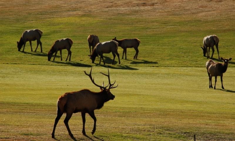 Elk on Estes Park Golf Course