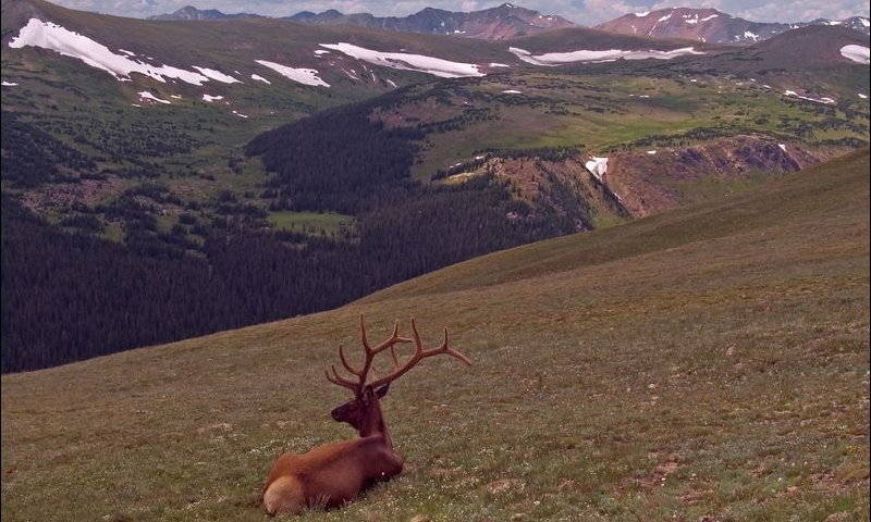 Elk on Trail Ridge Road in Rocky Mountain National Park