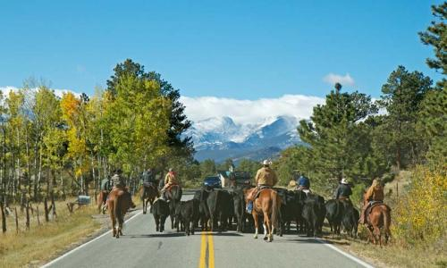 Cattle Drive at MacGregor Ranch